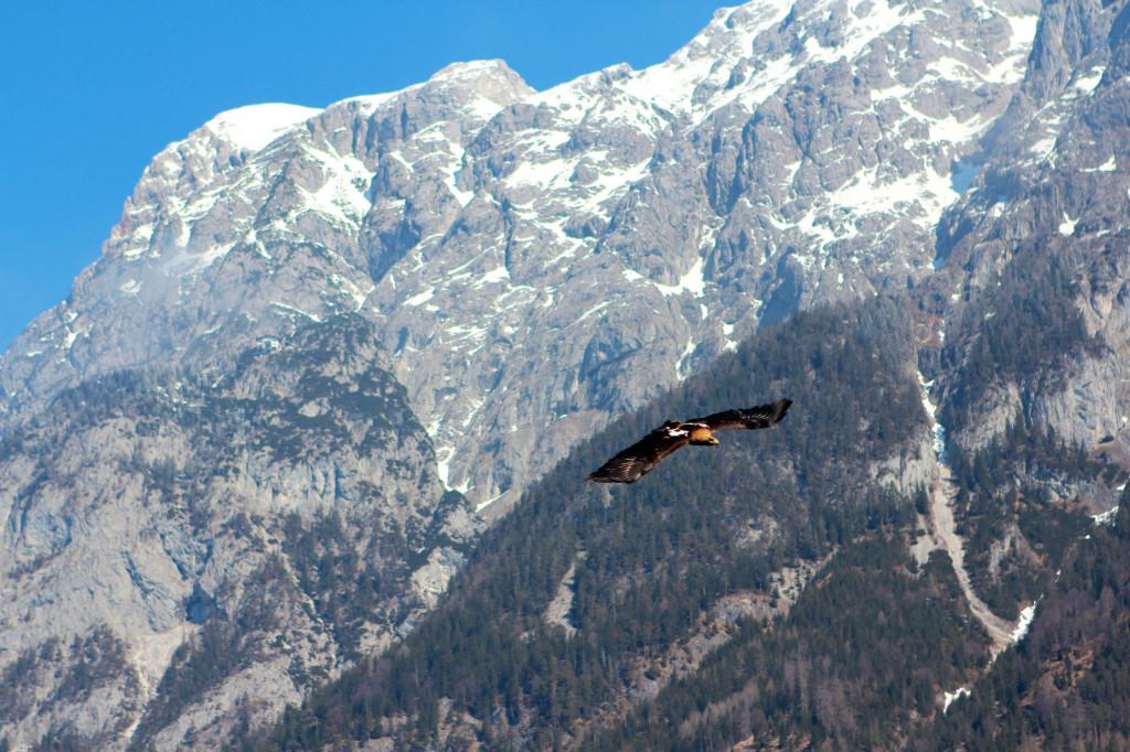 A Falcon Soars Over Mountain Tops