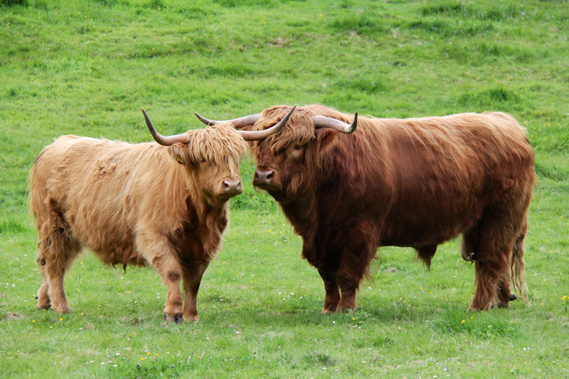 Scottish cattle have a very unique look