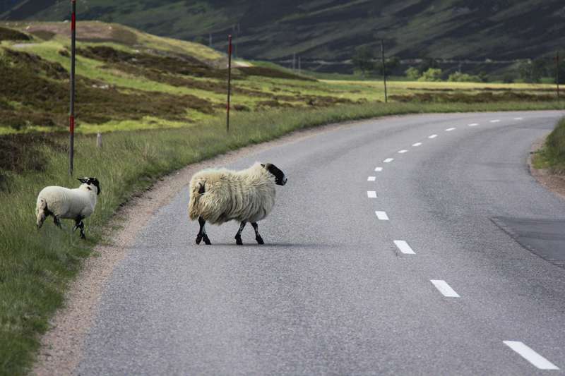 A sheep crosses the road in the Highlands