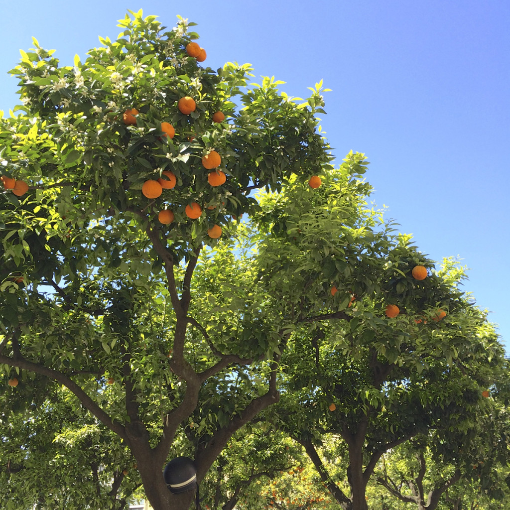 There were orange trees everywhere