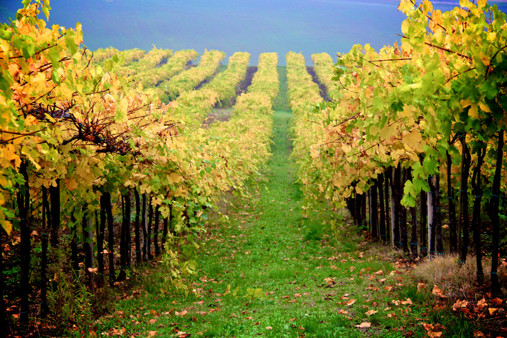 Vineyards in Emilia-Romana